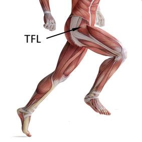 tensor fascia latae muscle - TFL