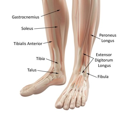 the ankle and muscles
